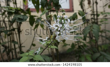 plant cat whiskers/cat whiskers flower #1424198105