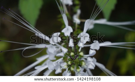 plant cat whiskers/cat whiskers flower #1424198108