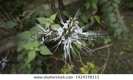 plant cat whiskers/cat whiskers flower #1424198111