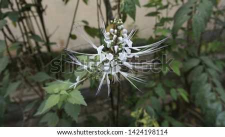 plant cat whiskers/cat whiskers flower #1424198114