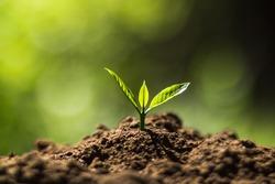 Plant Coffee seedlings in nature