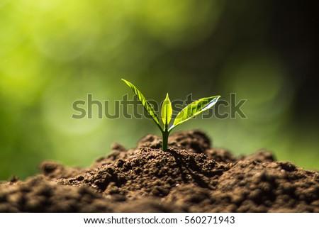 Plant Coffee seedlings in nature #560271943