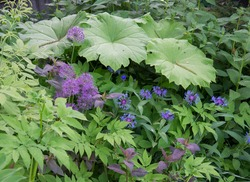 Plant composition of astilboides, allium and centaurea in a shady garden in early summer.