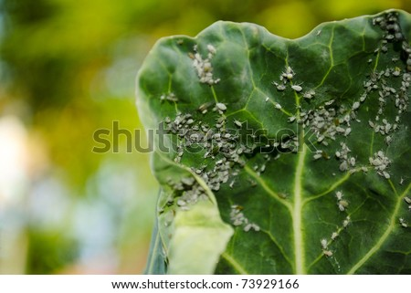 plant covered in aphids