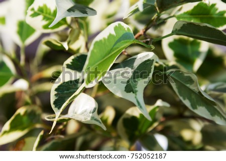 Plant. Decorative plant. Decorative flower. Green, white leaves #752052187