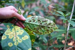 plant disease symptom on wild plant leaf