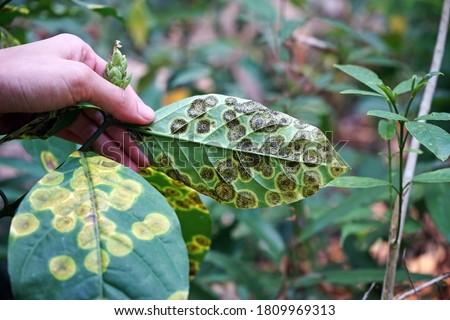 plant disease symptom on wild plant leaf Foto stock ©