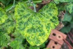 Plant disease virus on the Pumpkin plant (Cucurbita moschata Duchesne)