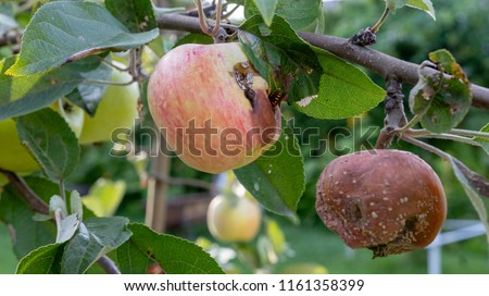 Plant diseases. Monilinia fructigena.  Infected apples grow in the tree branch with typical signs of disease.