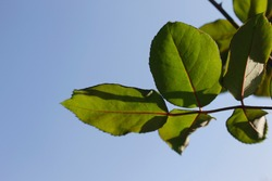 Plant foliage in Brazil. It is possible to identify the morphology of the leaf: the petiole, the limbus and the stem.