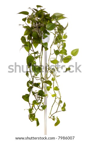 plant  growing in hanging pot isolated on white