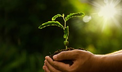 Plant growing on soil with hand holding over sun and sunlight ray and green background