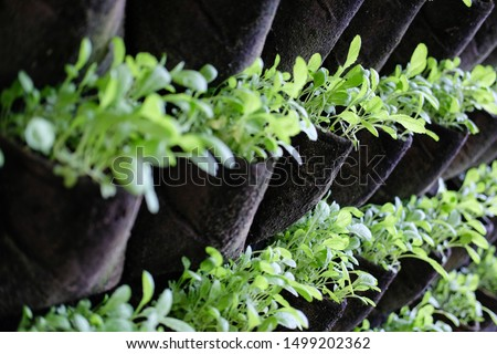 plant growing vertically in vertical garden. vegetable planted in small space pot hanging on wall