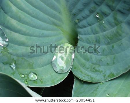 Plant Hosta