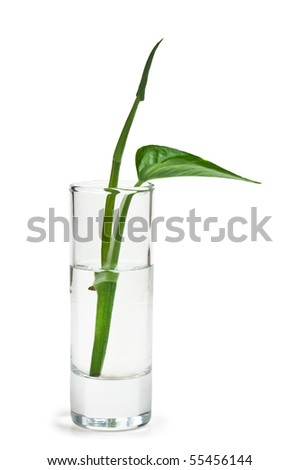 plant in a glass of water  isolated on a white