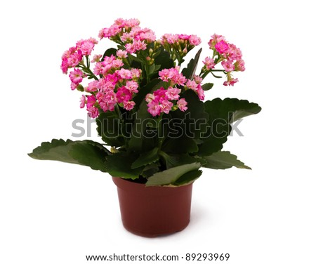 Plant in the pot with pink flowers idolated on white