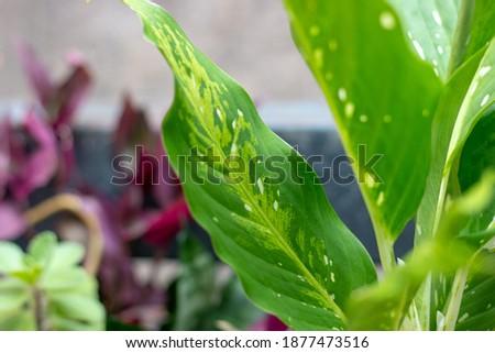 plant known as nobody can with me (Dieffenbachia seguine) in rio de janeiro Brazil. Stok fotoğraf ©
