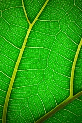 Plant leaf in macro. Green texture and pattern on a leaf of a plant. Green nature organic background.