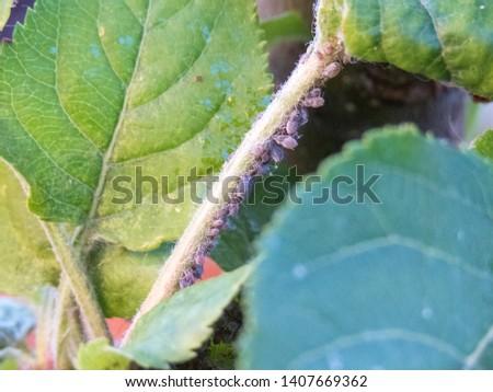 plant louses feasting on an apple tree leaf