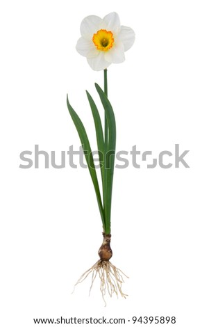 Plant narcissus inclusive bulb on white background