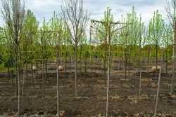 Plant nursery. Growing seedlings of coniferous, deciduous garden and ornamental trees. Nurseries may supply plants for gardens, agriculture, forestry and conservation biology.