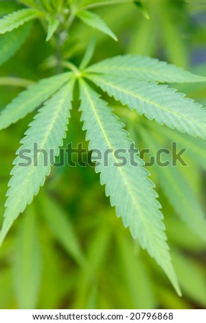 Plant of marihuana-Shadow DOF-