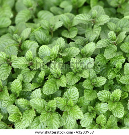 Mentha Arvensis Plants Plant of Mint Mentha