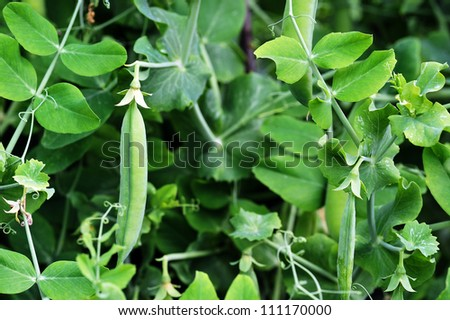 plant of pea growing in  garden. pods peas - stock photo