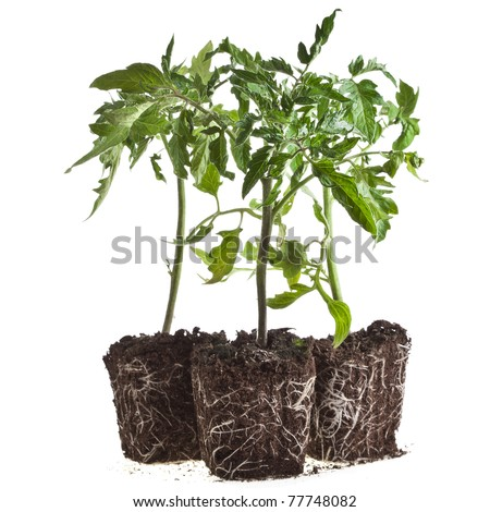 plant of tomato set isolated on white background