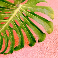 Plant on pink concept. Palm leaf  in urban locations.  Pink wall