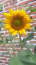 Plant on the garden beautiful sunflower of nature.