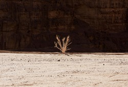 Plant, one dry tree in the desert in dark rock background. Side view. Dry tree in the dry sand. Jordan nature.Middle East nature.Pure nature in desert.Typical view of pure nature in the desert. Africa