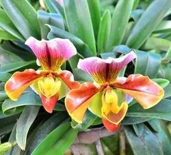 Plant - Paphiopedilum Flower