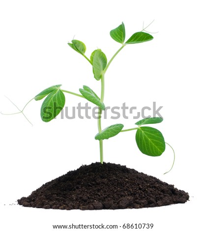 Plant pea and soil, isolated on white background