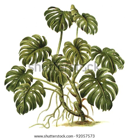 Plant - Philodendron pertusum / Vintage illustration from Meyers Konversations-Lexikon 1897
