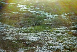 Plant prosperity due to seashore colony of birds in Arctic cold desert. Chickweed (Cerastium arcticum) fields of flowering plants unde rookery at Franz Joseph Land
