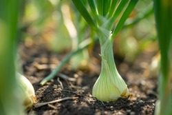 Plant spring onions that are growing in season. In the fertile areas of Thailand