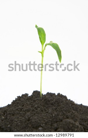 plant sprouting from dirt isolated against white background