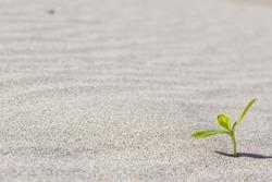 Plant sprouting in the desert Sahara. Seedling sand
