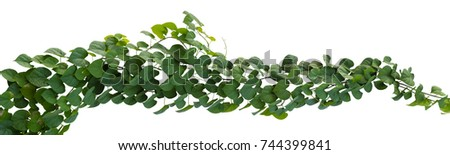 Plant tropical foliage vine, Ivy green hang isolated on white background, clipping path #744399841