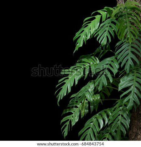 plant tropical leaves jungle, dark green foliage isolated on black background. Clipping path - Shutterstock ID 684843754