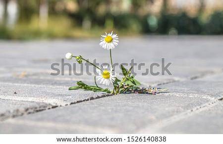 Plant weeds between paving tiles Foto stock ©