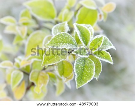 Plant with leaves covered with morning frost. Photo taken in late autumn.