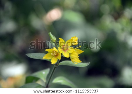 plant with yellow flowers of the Gilbweiderich (lysimachia punctata) #1115953937