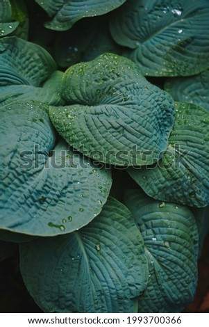 Plantain lily: a species of Plantain lilies, its botanical name is Hosta sieboldiana.