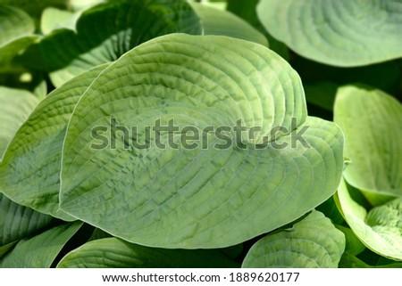 Plantain lily Elegans leaves - Latin name - Hosta sieboldiana Elegans Stock fotó ©