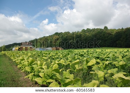 plantation  and drying the leaf of tobacco