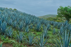 Plantation of blue agave in the field to make tequila