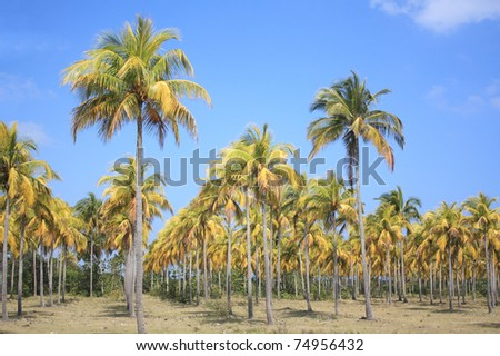 Plantation of coconut palm trees in Cuba.