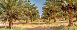 Plantation of date palms. Desert agriculture industry of the Middle East. Plastic bags protect ripening dates from birds